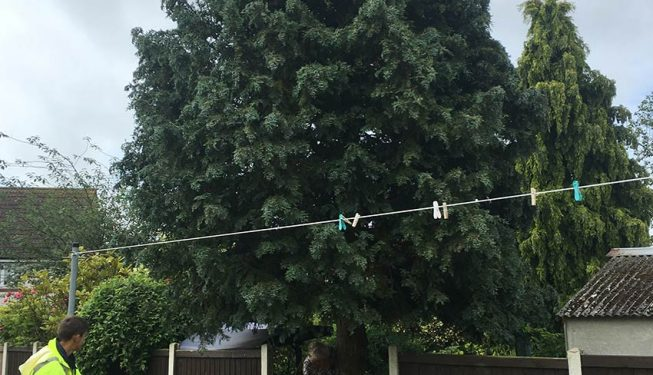 Chelmsford tree crown lifting services